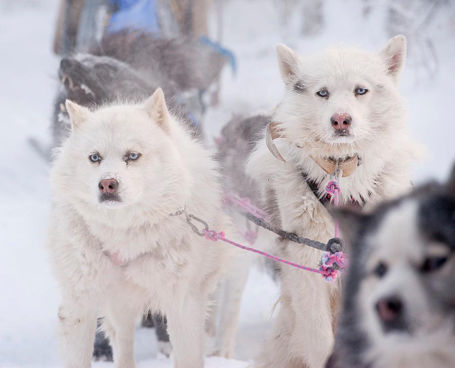 ロシア旅行 犬ぞり体験8日間 | ...